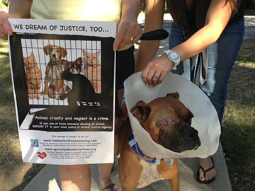 This boxer--who was used as bait in a pit bull fighting ring--was rescued. OBOL provided all the necessary supplies to bring him back to health.