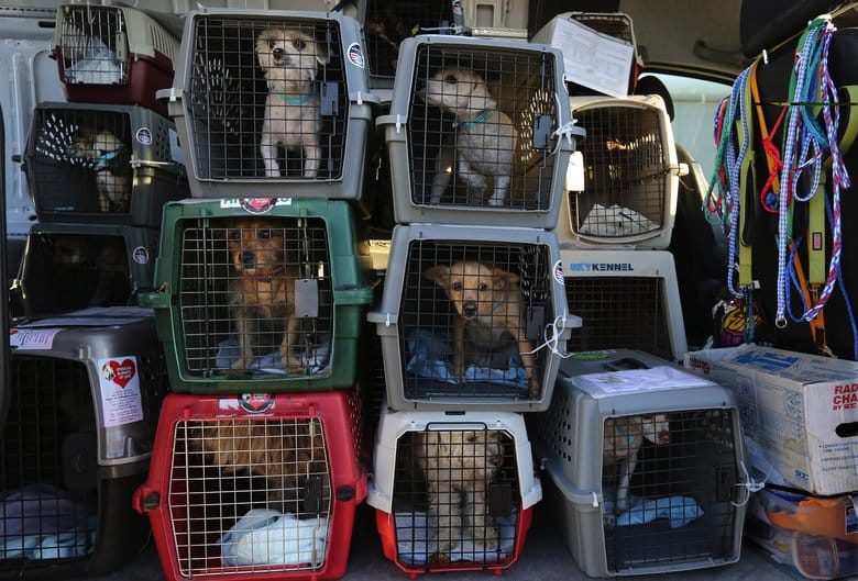Rescued dogs headed to Silverdale await their drive to the Kitsap Humane Society. About 100 dogs and a few cats from overcrowded California shelters arrived on a Friday flight from Los Angeles to Paine Field in Everett. They'll await adoption at no-kill shelters here. (Alan Berner/The Seattle Times)